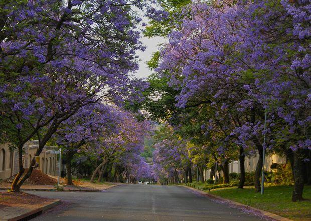 """Les jacarandas de Pretoria, en Afrique du Sud Extrait de """"10 arbres qui invitent au voyage"""" : http://www.geo.fr/photos/reportages-geo/arbres-extraordinaires-qui-invitent-au-voyage-156393"""