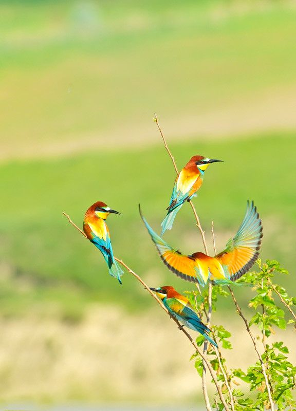A rainbow of colors in their wings!  european bee-eater