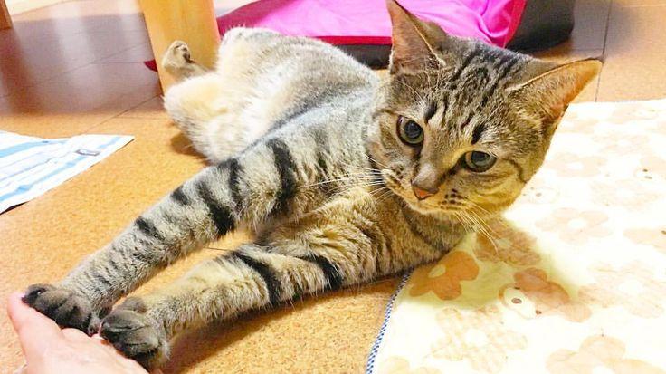 + #はるさん + なんだか、 遊んでほしそう。笑 + 今日も おつかれさまでしたー 週末は雨みたい。 ジメジメ半端ないよ。笑 + #猫#ねこ#ネコ#neko#にゃんこ#cat#ねこ部#ふわもこ部#ぺこねこ部#catstagram#instacat#ig_catphoto#wold_kawaii_cat#bestmeow#lover_cats#top_cat_photo#igmeow#みんねこ#haru#丸い#もふもふ#女子力高すぎ#可愛すぎ#おつかれさま#幸せな1日#また明日