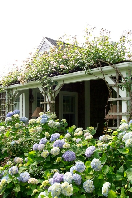 Climbing roses and hydrangeas on a Nantucket cottage