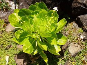 white flowers on brighamia insignis cabbage on a stick houseplants http