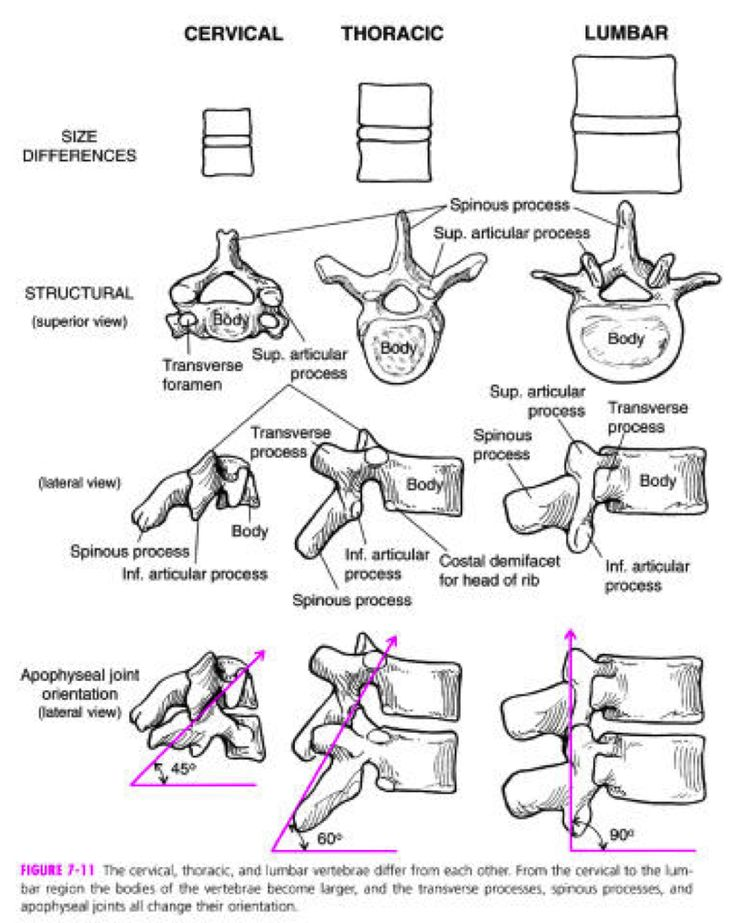 Vertebral Facet Orientation