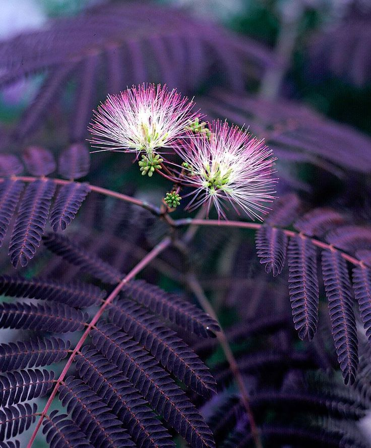 Persian Silk Tree The Persian Silk Tree (Albizia Julibrissin 'Summer Chocolate') was declared the most promising newcomer to the market in 2006. It is a highly exclusive garden subject with its pinkish summer flowers and unusually coloured tripinnate sickle-shaped leaves. It is a distant relative of the more common acacia and mimosa. It is hardy and has a delightful fragrance which attracts butterflies. Height supplied 25-30 cm.