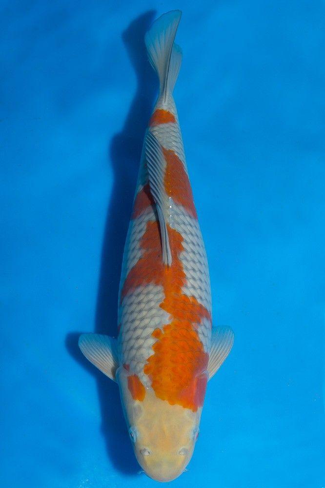 17 best images about koi on pinterest japanese koi fish for Ochiba koi fish