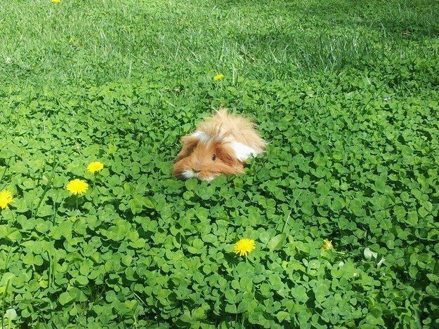 This lucky pig in a field of lush clovers. | The 24 Most Important Guinea Pigs In The Entire World