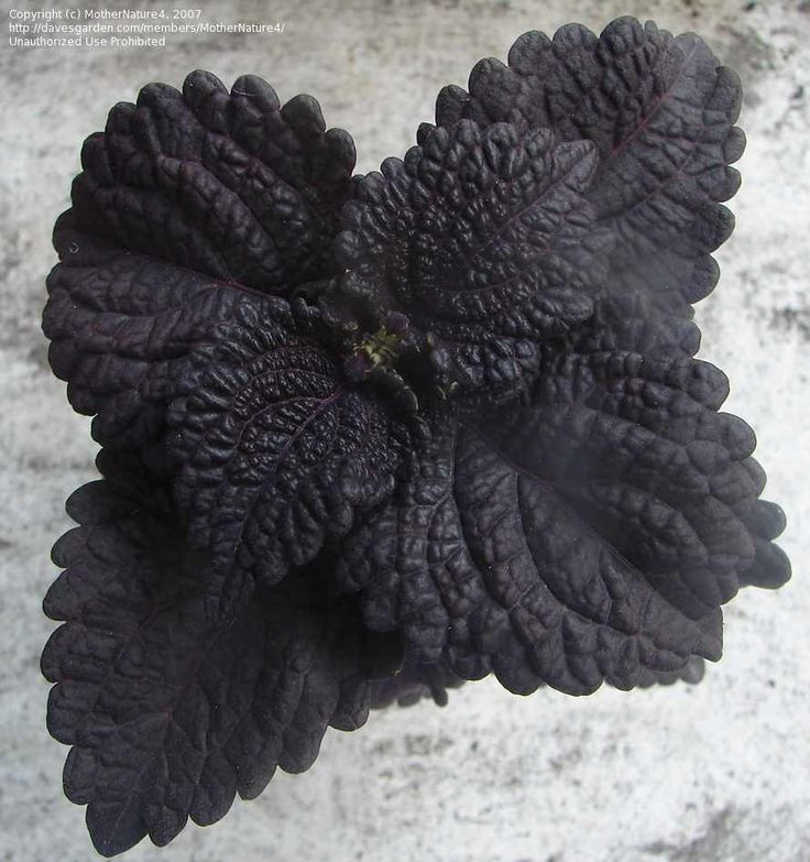 blackberry waffles coleus