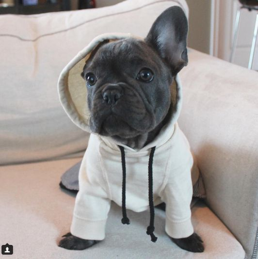 """""""Uhmmmm...Dad, I think I lost an Ear?"""" Funny French Bulldog Puppy"""