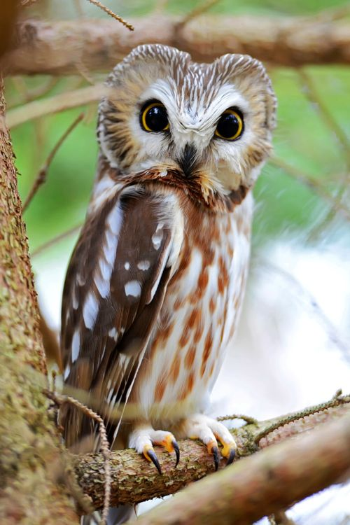 "Northern Saw-Whet Owl - One of the smallest owls in North America, this species is only 6-8"" long. They got their name because their call sounds like a saw being sharpened on a whetstone."