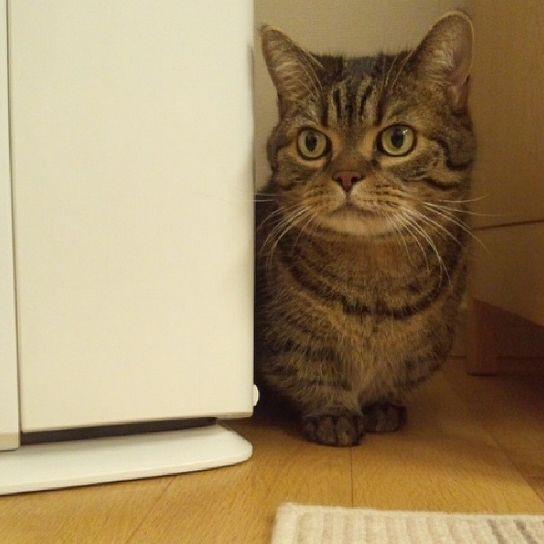 syakobon  シッターさんから写メ。もう帰るよ~♪ #しゃこぼ #猫 #猫もふ団 #ねこ部 #マンチカン #cat #chat #gato #gatto #munchkin #catlovers #catstagram