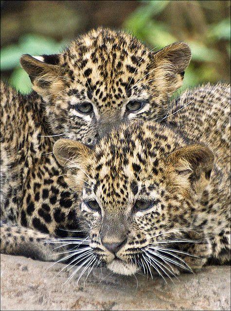 ~~Cubs Sri Lanka Leopard by Foto Martien~~