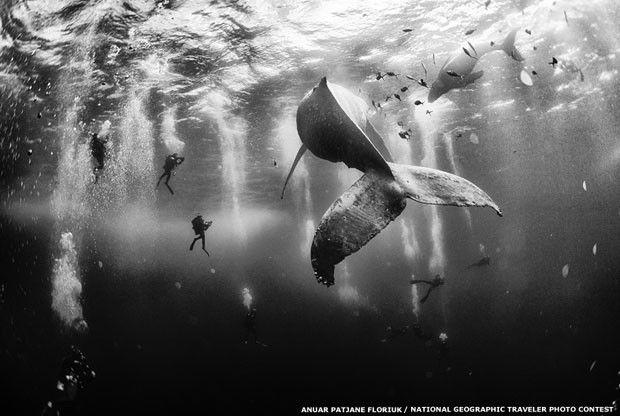 1)Uma foto de mergulhadores nadando com uma baleia-jubarte e seu filhote ganhou o grande prêmio do concurso de fotos de viagem da National Geographic. A foto vencedora, de Anuar Patjane Floriuk, foi tirada perto de Roca Partida, uma ilha na costa oeste do México, e superou mais de 17 mil inscritas (Foto: Anuar Patjane Floriuk/National Geographic Traveler Photo Contest)