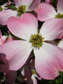 Fast growing, fall color, manageable size, drought tolerant, bird feeding, and those blooms.  Pink dogwood for the win!