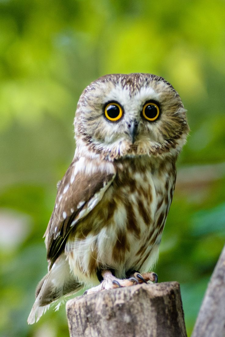 Northern Saw-Whet Owl by Randy Scherkenbach