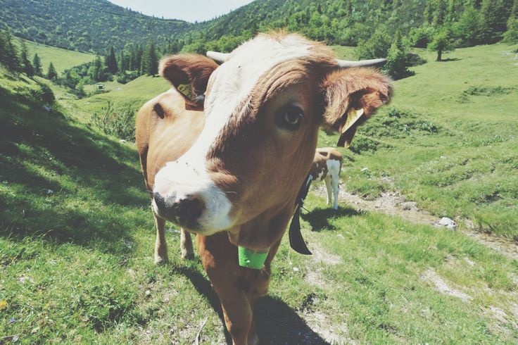 cow of alps,germany