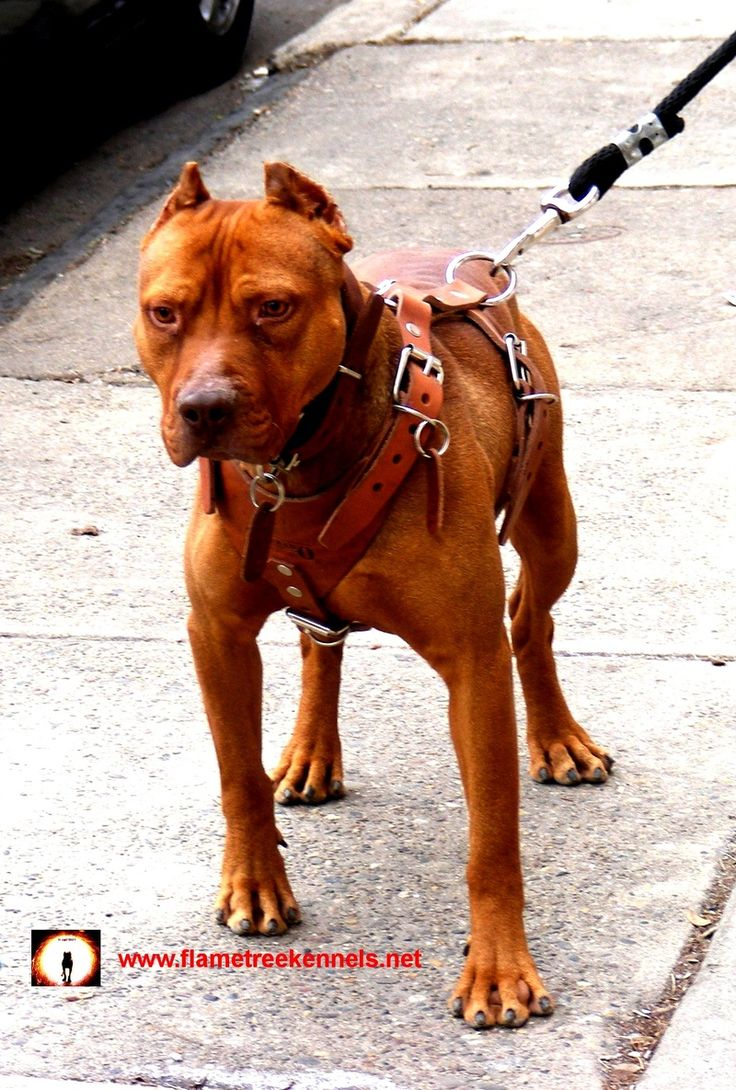 Old Family Red Nose Pit Bull