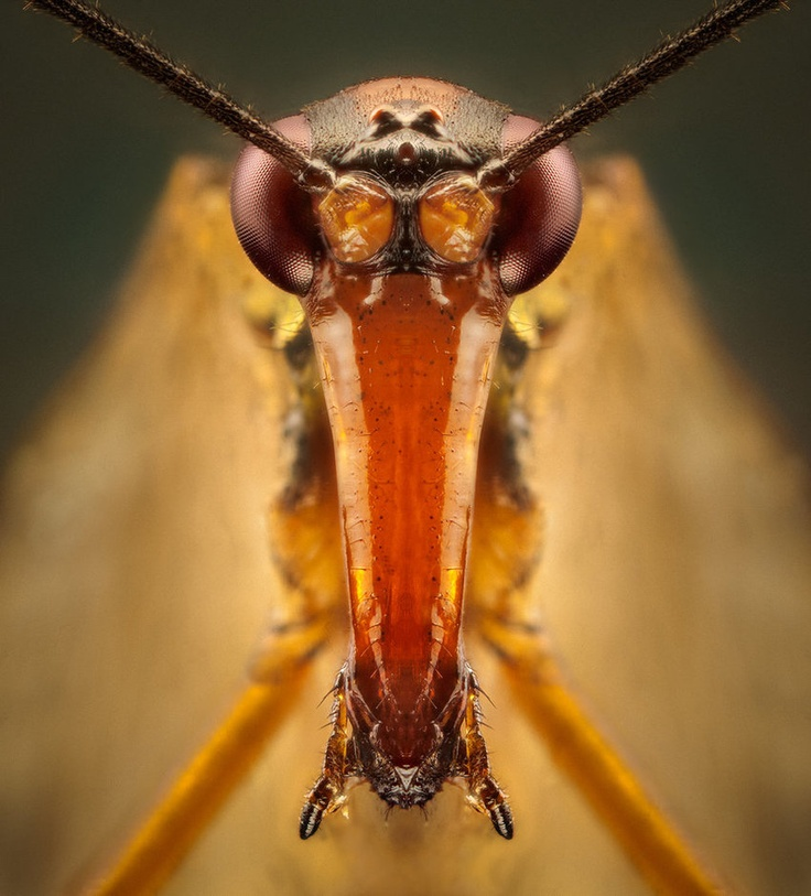 b1d02dc9c7fa1cbee5f1fc0e4c1b1151 scorpion fly 49 best amazing insects images on pinterest bugs, insects and camo