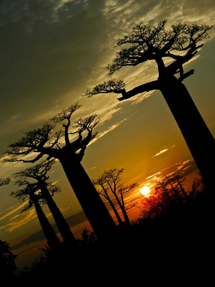 baobab trees in Madagascar....more trees that look like broccoli sillouettes...