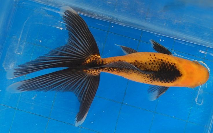 1000 images about fish fish and more fish on pinterest for Pool koi goggles
