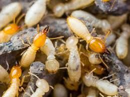 Learn all about termites, facts about termites and different types of termites. Termites colonies eat non-stop, 24 hours a day, seven days a week!
