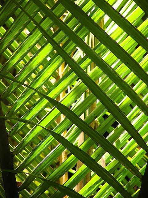 Nikau leaves by Liddy2007, via Flickr