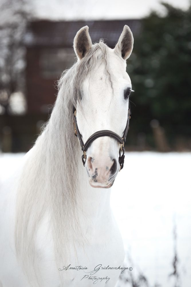 Andalusian (PRE) gelding. Owner: Natalie Patel Автор: An Gri
