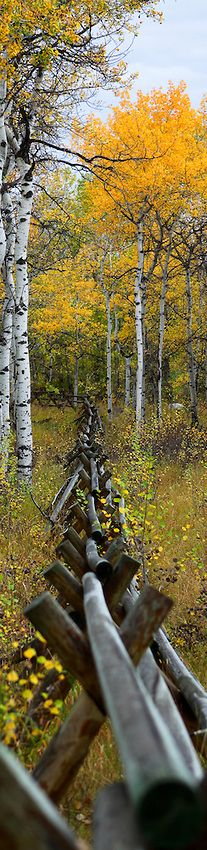 Log jack fence through the trees in Red Lodge, Montana