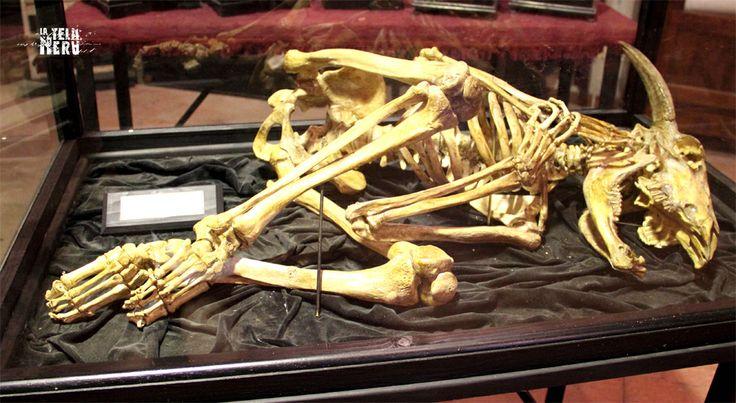 Lo scheletro di un Minotauro, la creatura mitologica condannata nel XII canto dell'Inferno di Dante Alighieri al girone dei violenti contro il prossimo, gli assassini.  #minotauro #inferno #scheletro