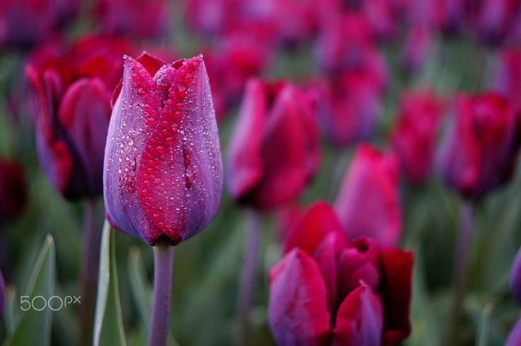 ~ tulip ~ - Sony SLT-A58