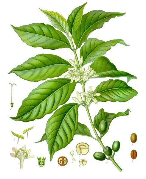 beautiful Botanical Print of the Coffee Plant