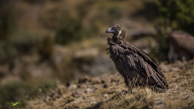 The Monk - The Monk - Because we german called this vulture *Mönchsgeier* what means Monk vulture Cinereous vulture - Buitre Negro This bird is on the red list of threadened species Its global population is estimated to number 7,800-10,500 pairs, roughly equating to 15,600-21,000 mature individuals. This consists of 2,300-2,500 pairs in Europe (BirdLife International 2004, Anon. 2004) and 5,500-8,000 pairs in Asia (Anon. 2004). The population in Korea has been estimated at c.50-10,000…