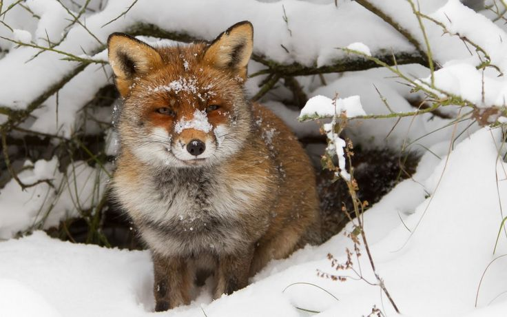 Winter wallpaper with a red fox near his hole HD animals wallpapers - Animals in winter wallpaper