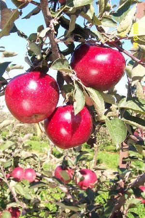 Apple (Malus) 'Snapp Stayman' Snapp Stayman Apple from E.C. Brown's Nursery