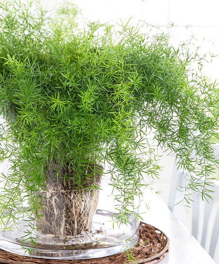 Asparagus aethiopicus 'Sprengeri' ~ Sprenger's Asparagus Fern: Damn creeper in my garden.