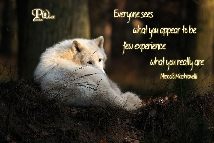 Everyone sees what you appear to be few experience what you really are. ~ Niccolò Machiavelli ~  Learning the various facts about wolves is a great way to stop the misconceptions about them out there. Here are some fabulous facts that will help you to understand them in a new light: http://www.wolfworlds.com/facts-about-wolves/  #Wolf