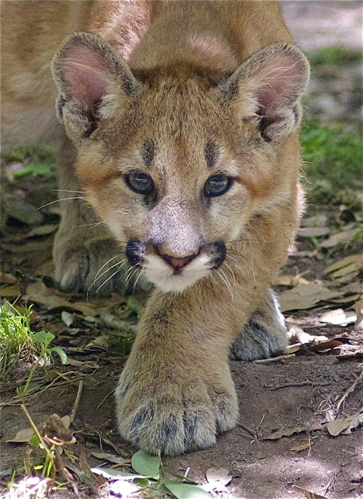 Beautiful Mountain Lion cub  (by ucumari)