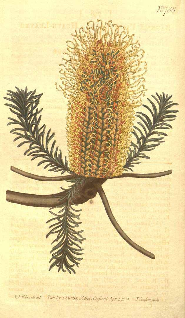 Banksia ericifolia L.f. heath leaved banksia Curtis's Botanical Magazine, vol. 19: t. 738 (1804) [S.T. Edwards]
