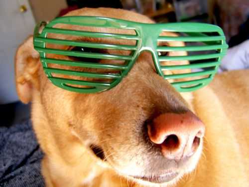 Cute dog With Glasses