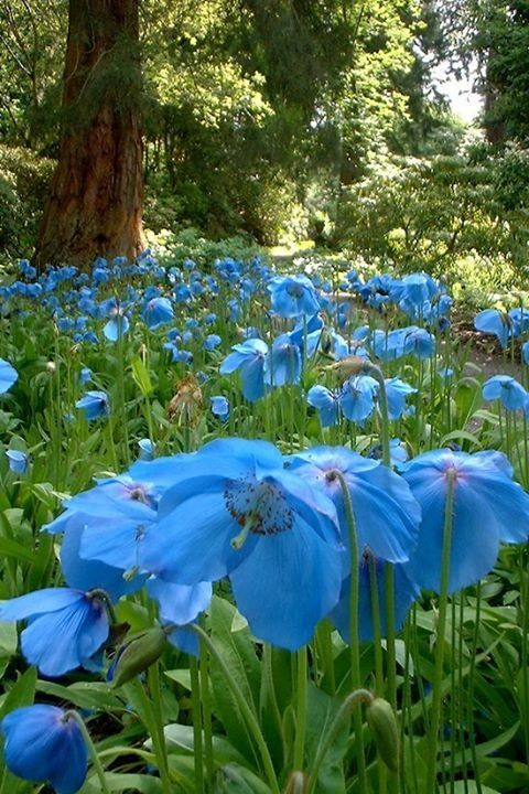 Blue Himalayan poppies, will grow in the Northwest!