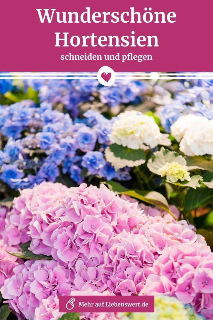 Hortensien schneiden und pflegen: So bleiben sie schön
