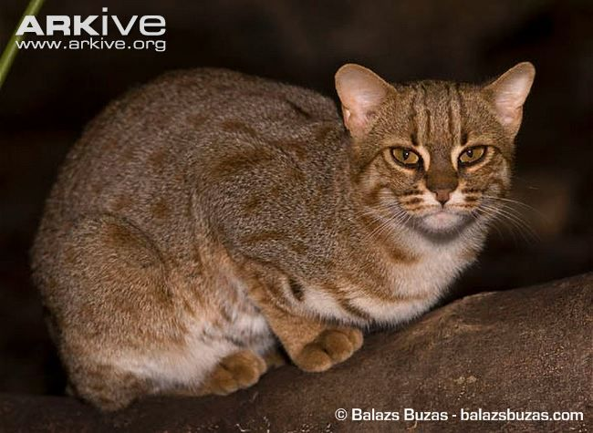 RUSTY-SPOTTED CAT: One of the smallest cat species in the world, the rusty-spotted cat (Prionailurus rubiginosus) has been called the hummingbird of the cat family, due to its small size, agility and activeness. About half the size of a domestic cat, the rusty-spotted cat has a short, soft, fawn-grey coat with a rufous tinge, covered with lines of small rusty-brown spots that form solid stripes along the back of the head, flanks and back.