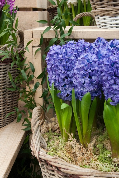 91 best images about hyacinthus on pinterest gardens spring and flower - Planting hyacinths indoors ...