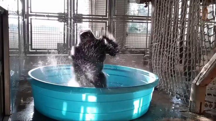 Break dancing Gorilla ! Full original version