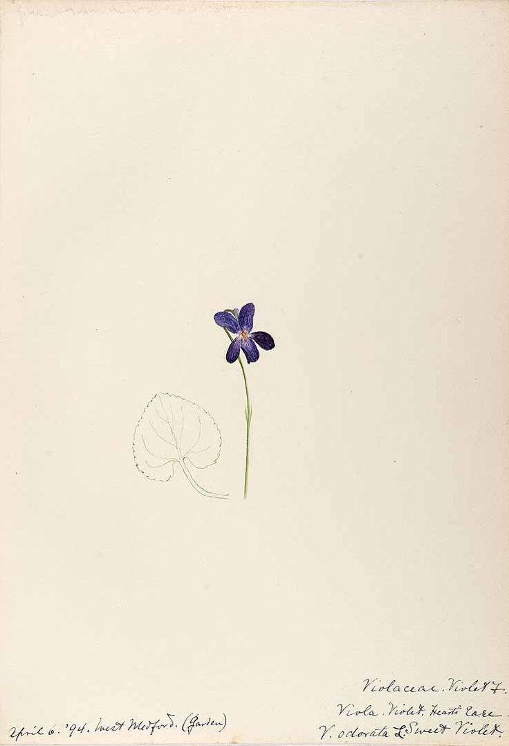 ニオイスミレ Viola odorata L.   sweet violet   Helen, Water-color sketches of New England flowering plants, (1899-1900)