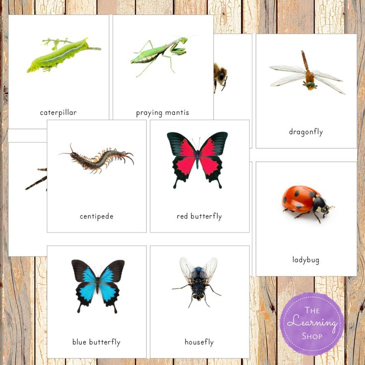 Insect nomenclature cards to go along with Safari Toob Insects