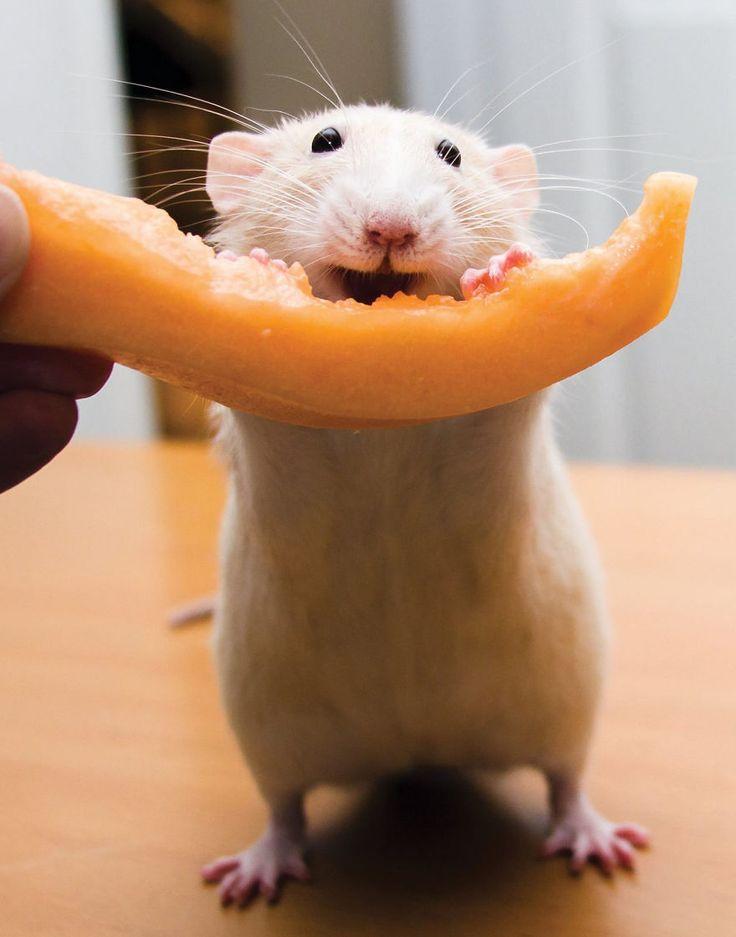 les aventures de marty mouse souris qui est en fait un rat 9