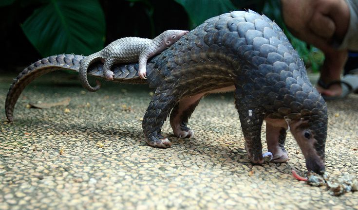 Sunda pangolin with her pangopup:  Manis javanica is critically endangered and is found in the forests of Southeast Asia. She has a conical heads and a sticky tongue for poking into termite and ant nests and but no teeth. Her baby is often called a 'pangopup'. by australiangeographic #Pangolin #Pangopup
