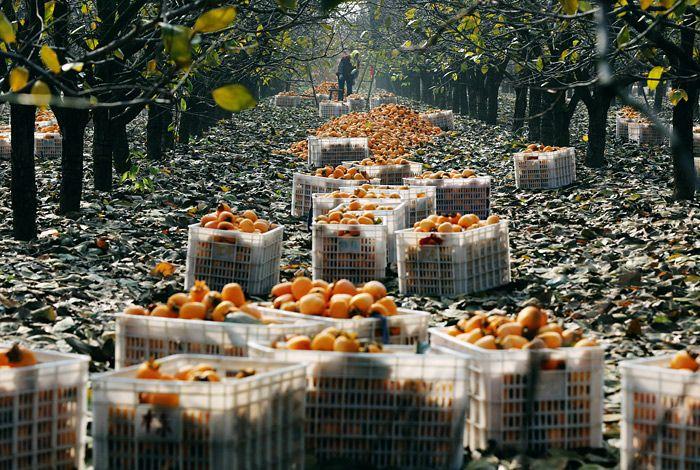 Сбор урожая хурмы в Китае