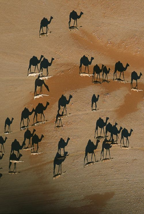 A pack of camels trekkin through the Sahara Desert. The low angle of the sun projects the shadows on the sand.