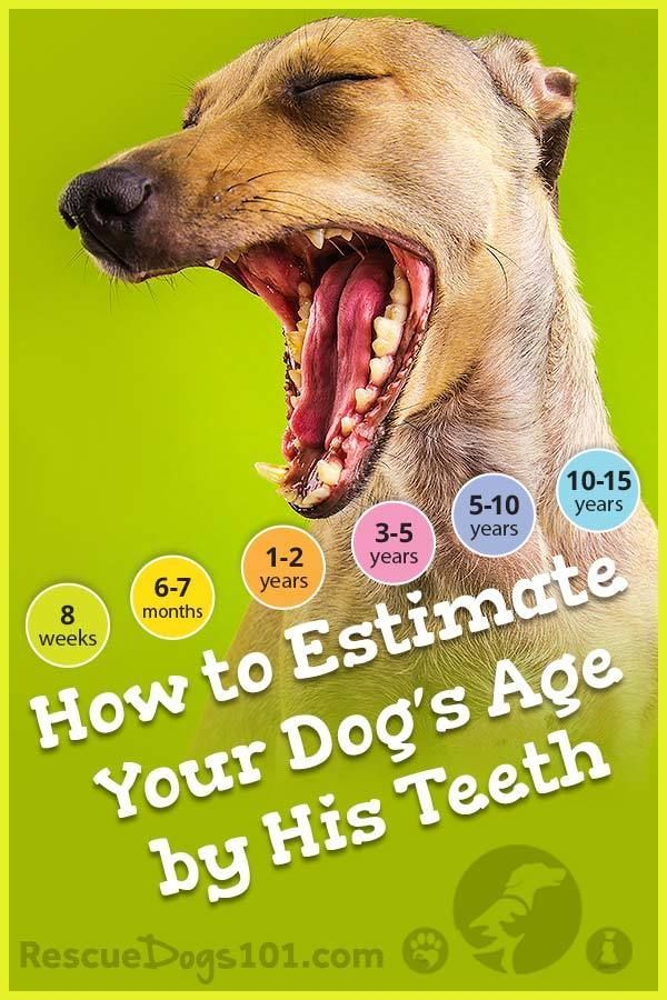 Checking Your Dog's Age By His Teeth... Dog ages, Dog