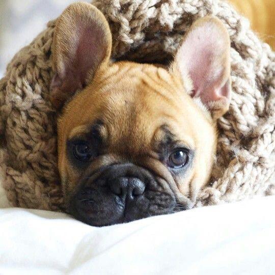French bulldog, Winter Edition ❄❄❄ www.frenchbulldogbreed.net